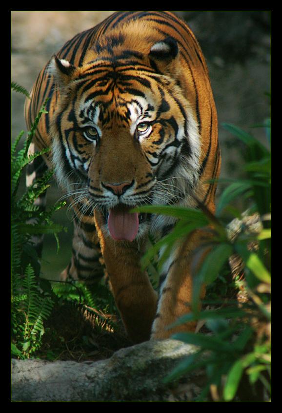 Sumatran Tiger IV LPZ2 by hoboinaschoolbus