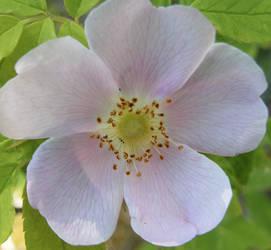 Arctic Flower 4