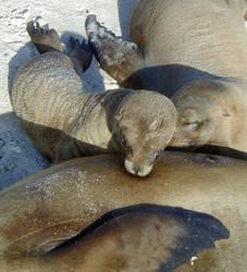 Sea Lion Nursing
