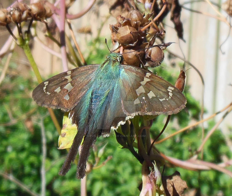 Long-Tailed Skipper and Morning Glory Seeds