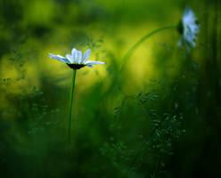 Daisies by Sparvoga