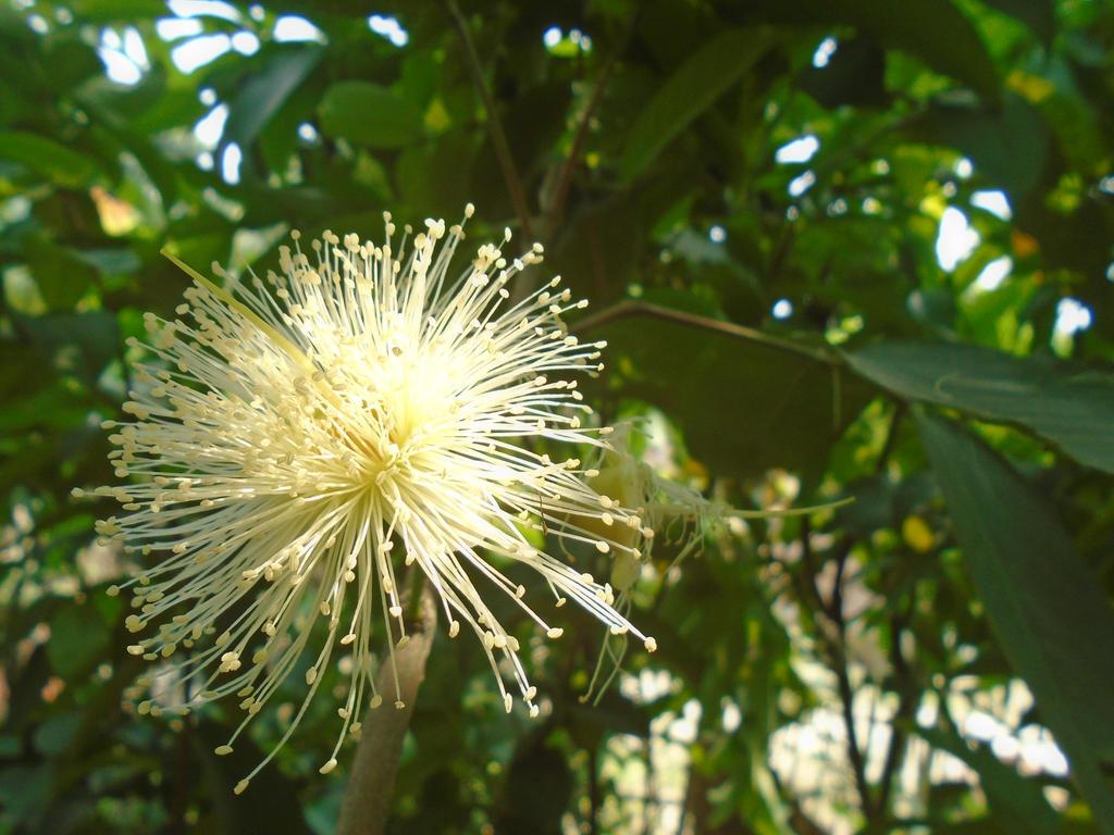 Wax-apple Flower by Deba1