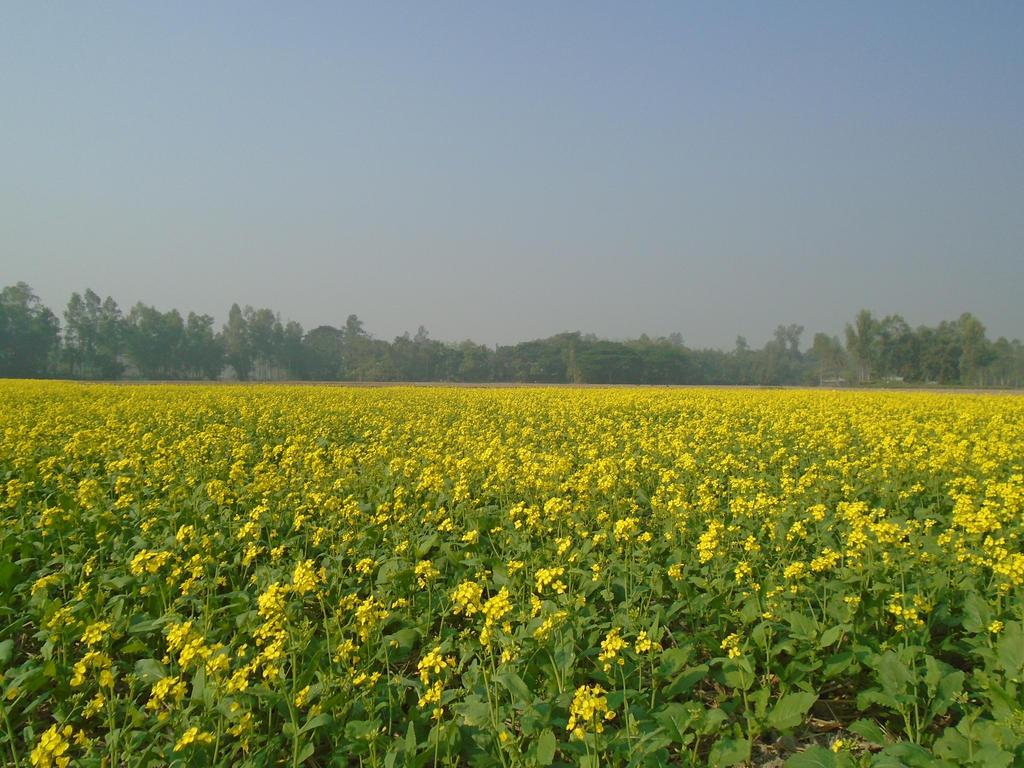 Mustard Flower Field by Deba1