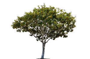 Tree Stock Photo- 0002 -PNG by annamae22