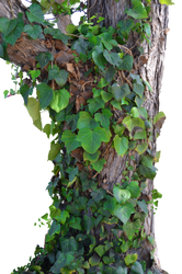 Tree Ivy and Vines Stock Photo_0016 PNG by annamae22