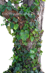 Tree Ivy and Vines Stock Photo_0016 PNG