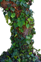Tree Ivy Vines Stock Photo 0017  PNG by annamae22