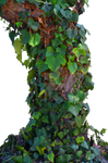 Tree Ivy Vines Stock Photo 0017  PNG