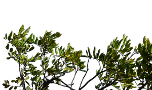 Bush Branchs PNG Stock Photo 0067