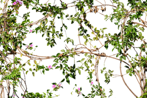 Vines Flowers Growing on a Wall Stock Photo_2- PNG by annamae22