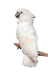 White Parrot on Perch Stock Photo 0804 PNG