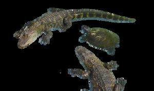 Alligator Turtle Stock Photo 0149 PNG