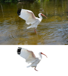 White Ibis Bird Stock Photo 0484 PNG and Orig