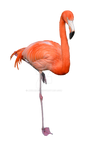 Flamingo Stock Photo 0309 PNG