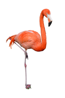 Flamingo Stock Photo 0310 PNG by annamae22