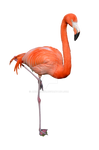 Flamingo Stock Photo 0310 PNG