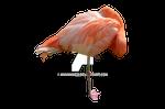 Sleeping Flamingo Stock 0411 PNG