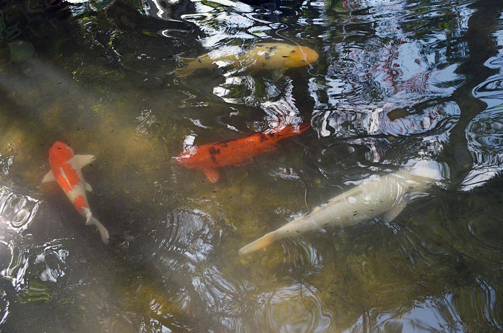 Koi Fish Pond Stock Photo Dsc 0706 By Annamae22 On Deviantart