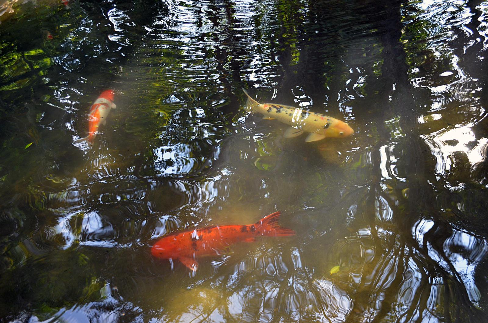 Koi Fish Pond Stock Photo Dsc 0700 By Annamae22 On Deviantart
