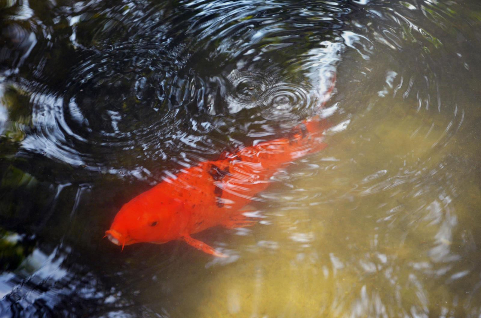 Koi Fish Pond Stock Photo Dsc 0704 By Annamae22 On Deviantart
