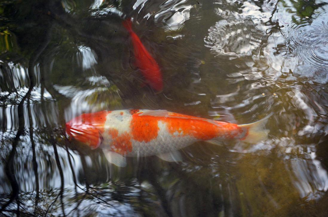Koi fish pond stock photo dsc 0708 by annamae22 on deviantart for Koi carp pond size