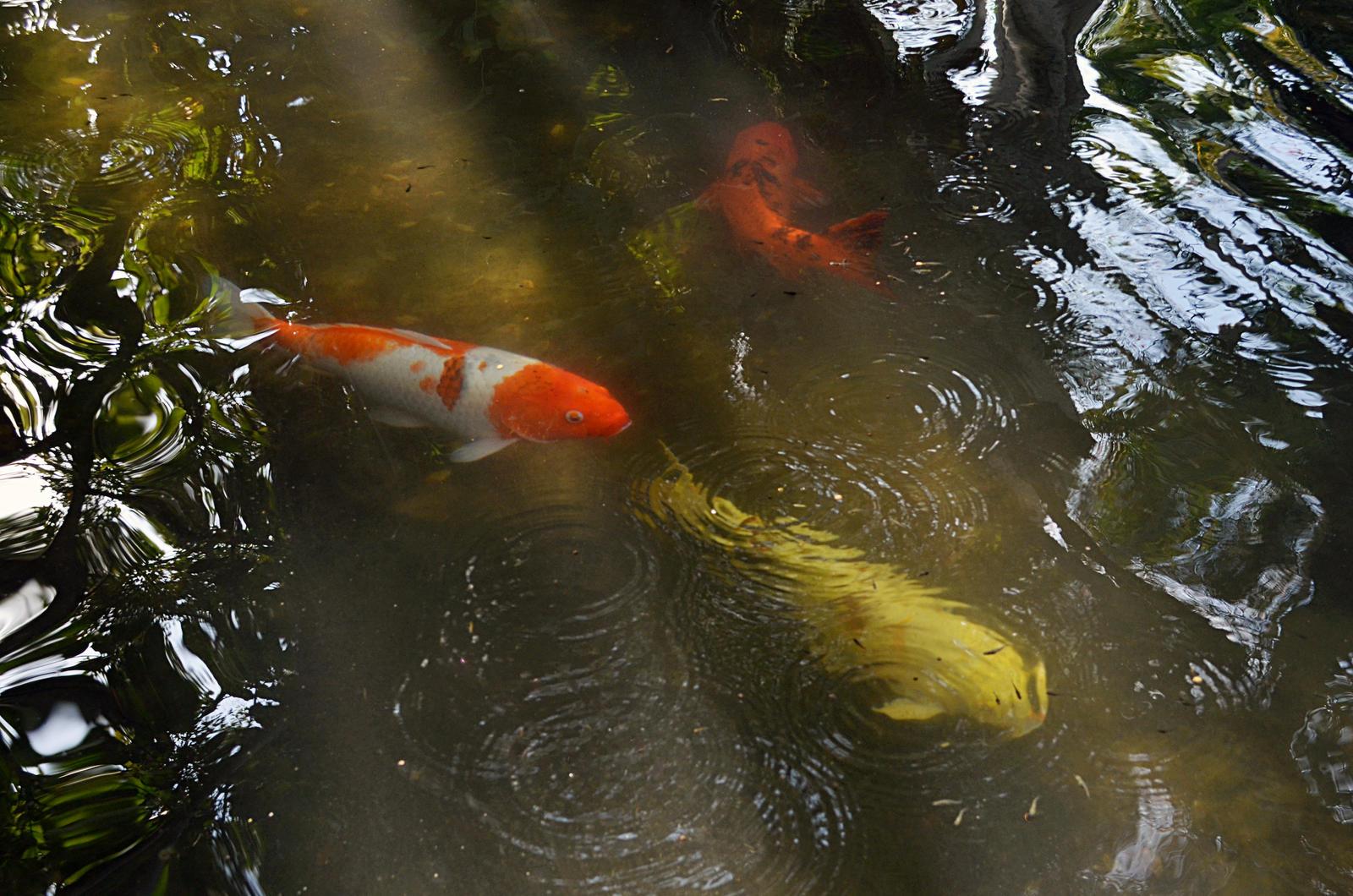 Koi Fish Pond Stock Photo Dsc 0709 By Annamae22 On Deviantart