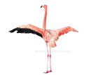Pink Flamingo Wings Spread Stock Photo 0129 PNG