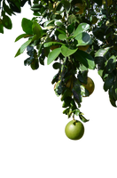 Grapefuit Tree Hanging Fruit Stock Photo 0342 PNG by annamae22