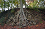 Tree Roots Ground Stock Photo 0147 PNG Rough-Cut