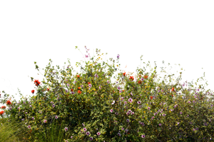 Ground Cover Wild Flowers Stock Photo 0078 PNG by annamae22