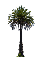 Palm Tree Stock Photo DSC 0018 PNG by annamae22