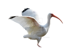 White Ibis Bird wings Stock Photo DSC 0486 PNG