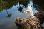 White Bird Flight from Nest StockPhoto DSC0576