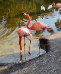 Flamingos Standing in Water Stock Photo 0625