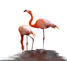 Flamingos Standing in Water PNG Stock Photo  0625 by annamae22