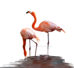 Flamingos Standing in Water PNG Stock Photo  0625