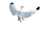 White Bird PNG Feather Stock Photo  DSC 0492