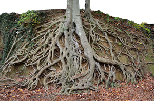 Giant Tree Roots Tree Trunk PNG Stock Photo 0150 by annamae22