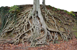 Giant Tree Roots Tree Trunk PNG Stock Photo 0150