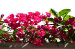 Pink Flowers PNG Stock Photo DSC 0531