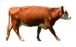 Cow PNG Stock Photo 0010 Complete CutOut