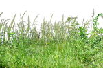 Tall Wheat Grass PNG Stock Photo 0073 copy