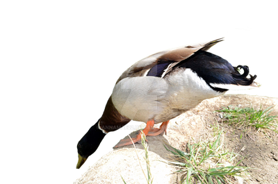 Duck PNG Stock Photo 0108