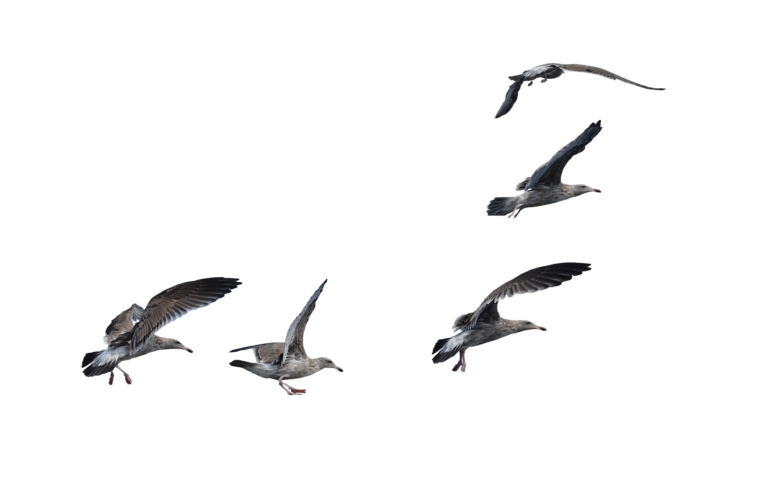 Flock of  Seagulls Landing PNG Stock Photo by annamae22