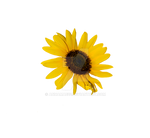 Sunflower- no stem   PNG Stock 0317
