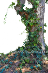 Tree  Ivy PNG Stock Photo 0025