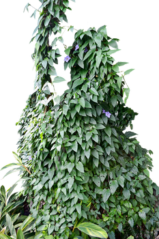 Ivy Flower Plant PNG Stock Photo 0049-Rough-Cut