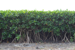 Row of Mangrove Tree Bushs PNG Stock Photo 0293 by annamae22