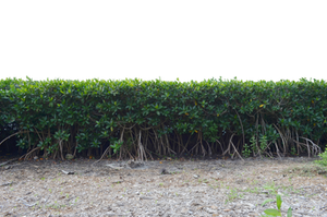 Row of Mangrove Tree Bushs PNG Stock Photo 0296 by annamae22