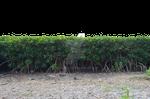 Row of Mangrove Tree Bushs PNG Stock Photo 0296